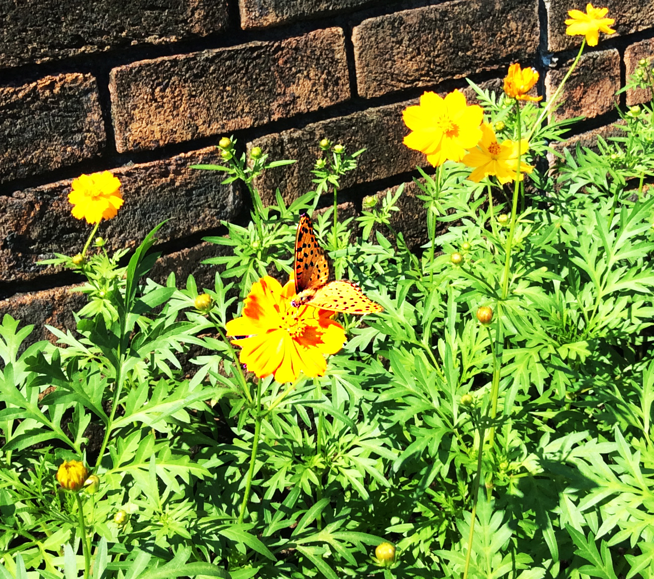 well camouflaged amoung yellow marigolds is this yellow and black spotted butterfly. The marigolds are at the base of a redish brick wall and have plenty of green foliage