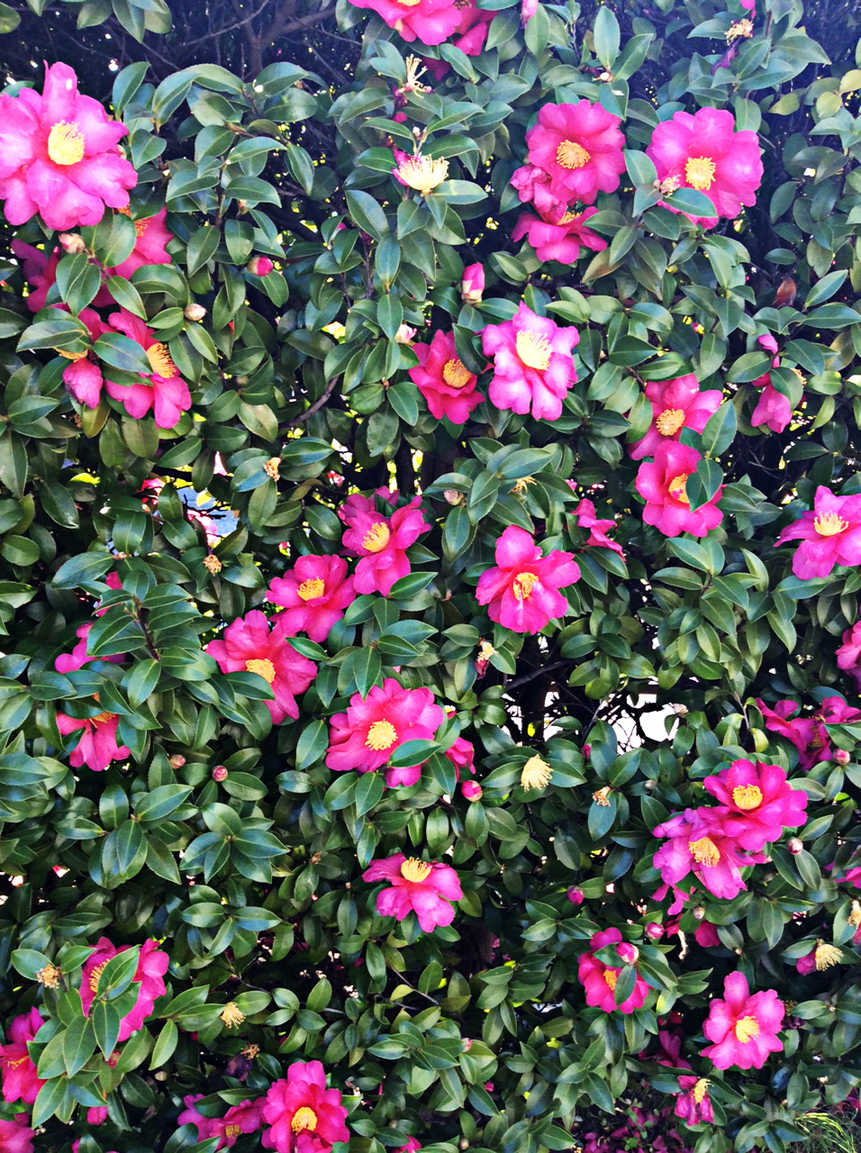 rich and glossy green camellia bush heavily laden with bright pink blossom, each with a golden yellow pollen centre
