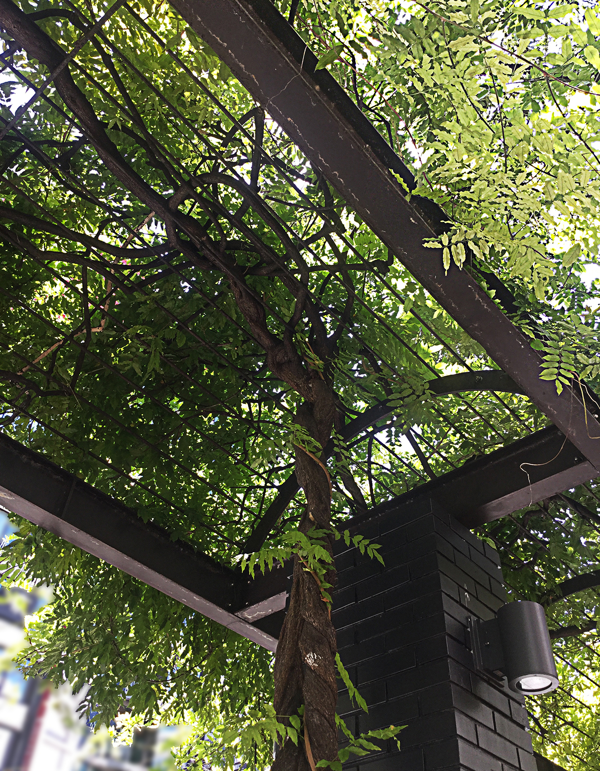 looking up through the solid support frame of a green wisteria canopy.